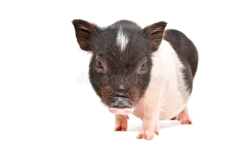 Petit porcin vietnamien mignon image libre de droits