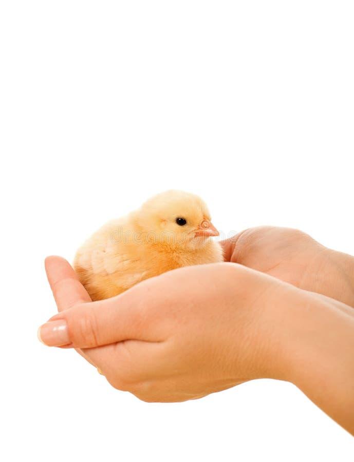 Petit poulet chez des mains de la femme images stock