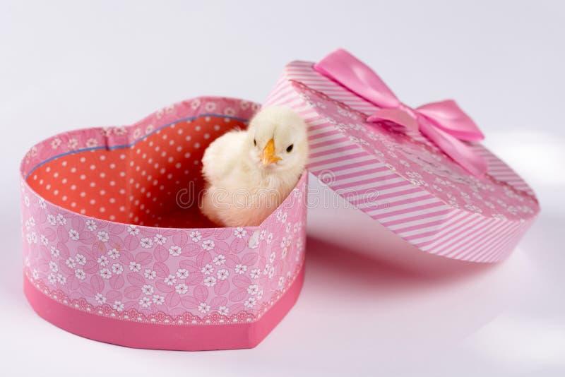 Petit poulet de bébé dans la boîte en forme de coeur d'isolement au-dessus du blanc photo stock