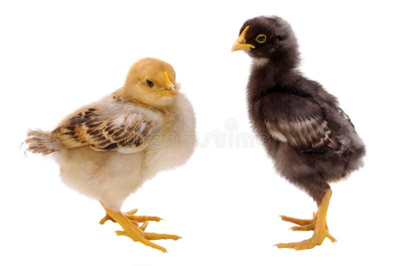Petit poulet mignon photos stock