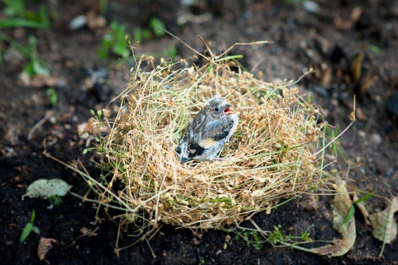 Petit poussin dans le nid photos stock