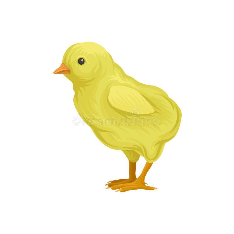 petit poussin jaune d'ute, illustration de vecteur d'élevage de volaille sur un fond blanc illustration stock