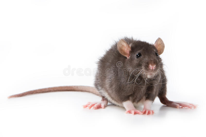 Petit rat photographie stock