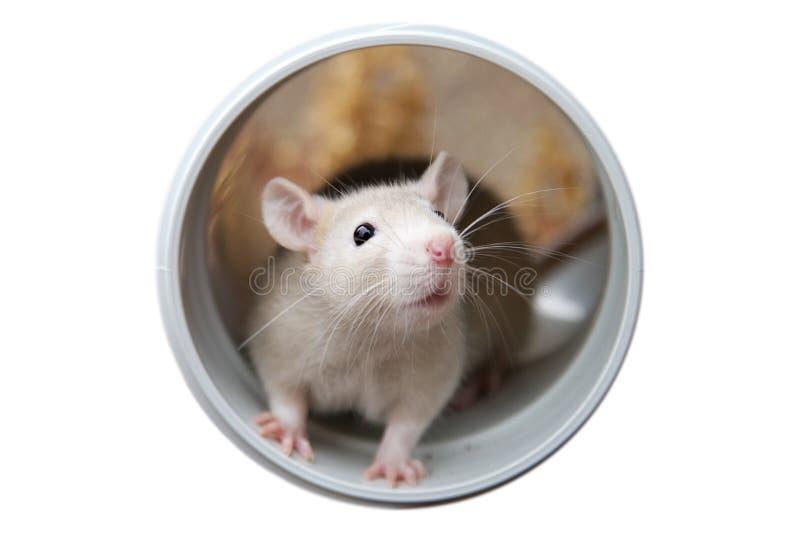 Petit rat photo stock