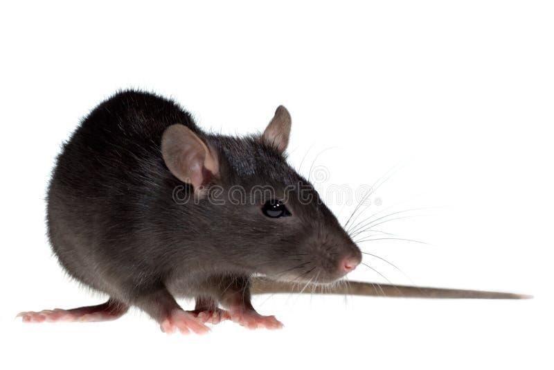 Petit rat image libre de droits
