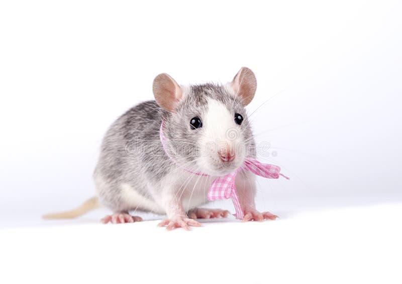 Petit rat avec une proue rose photos stock