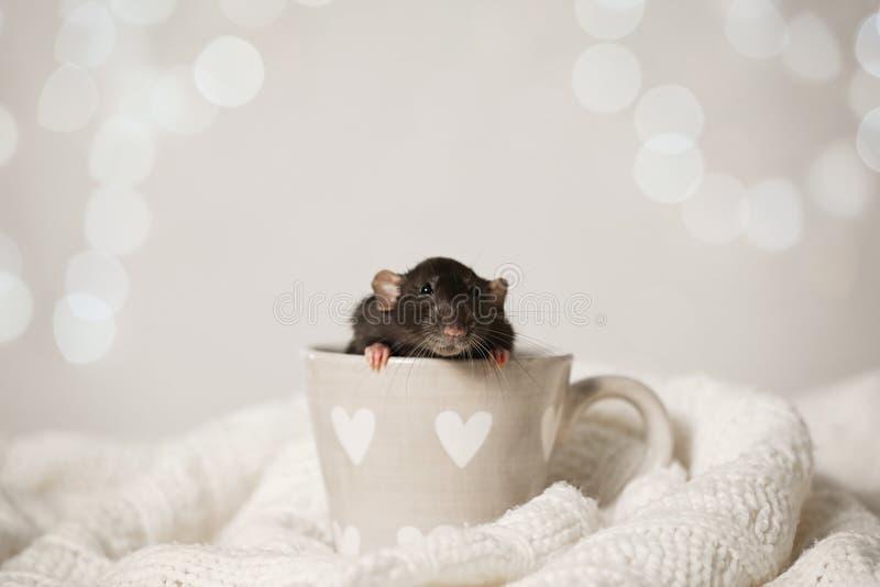 Petit rat en tasse sur une couverture tricotée. Symbole chinois de nouvelle ann?e images libres de droits