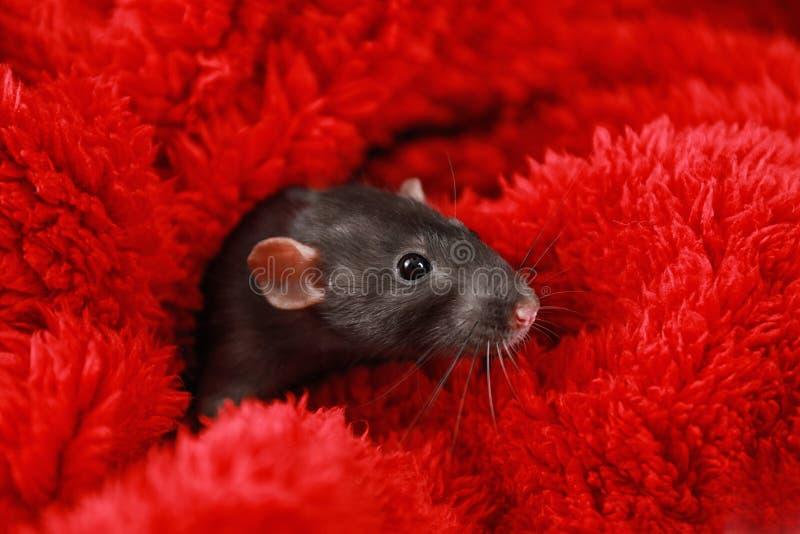 Petit rat mignon enveloppé dans une couverture rouge image stock