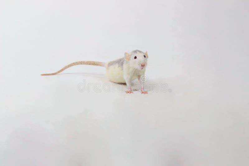 Petit rat sur le fond blanc images libres de droits