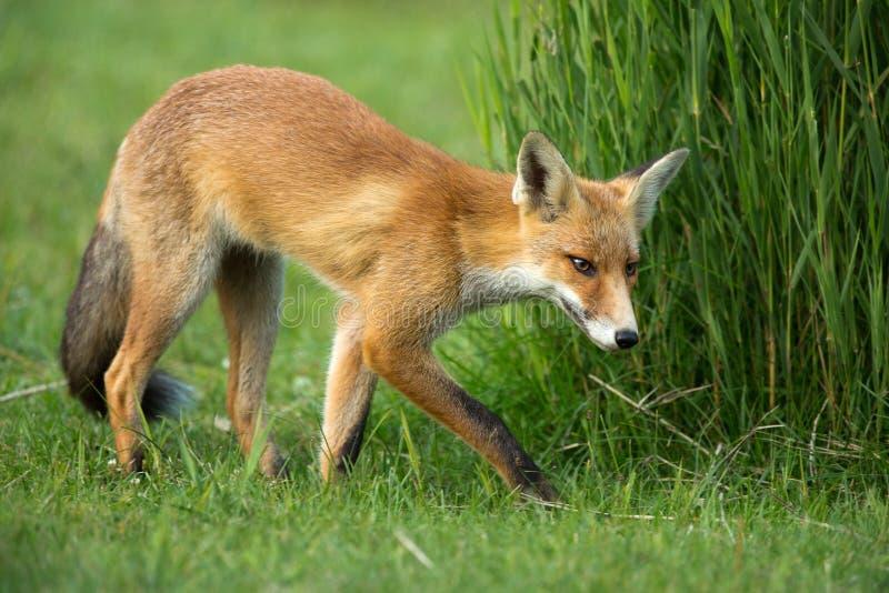 Petit renard rouge dans les dunes photos stock