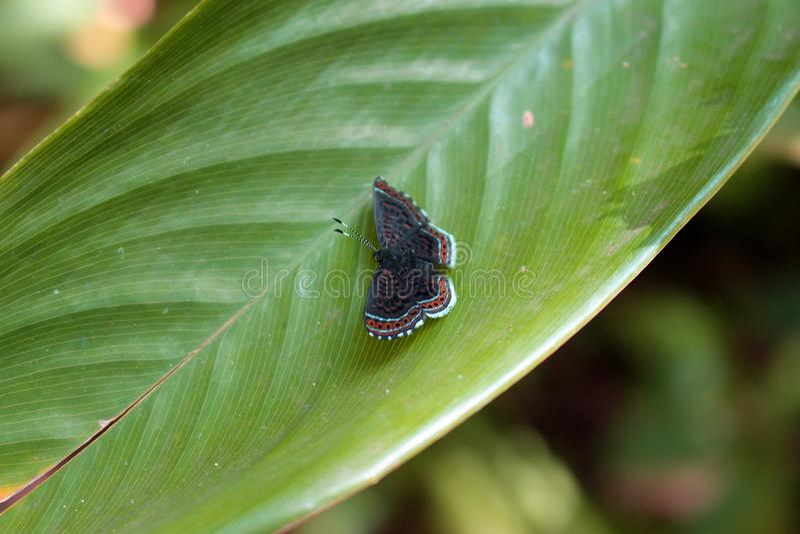 Petit repos noir de papillon photos libres de droits