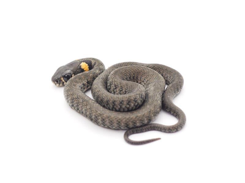 Petit reptile photo libre de droits
