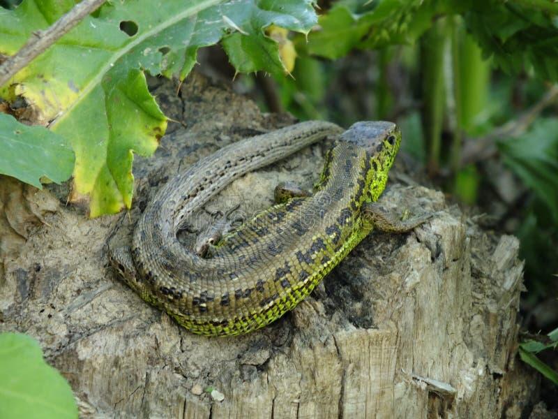 Petit reptile vert image libre de droits