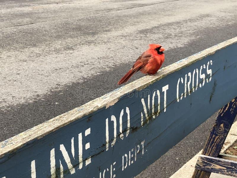 Petit Robin Bird Perched rouge sur le signe de police ne traversent pas la barrière de barricade photos libres de droits
