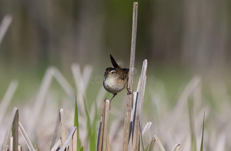 Petit roitelet de marais ?t? perch? sur roseaux photographie stock libre de droits