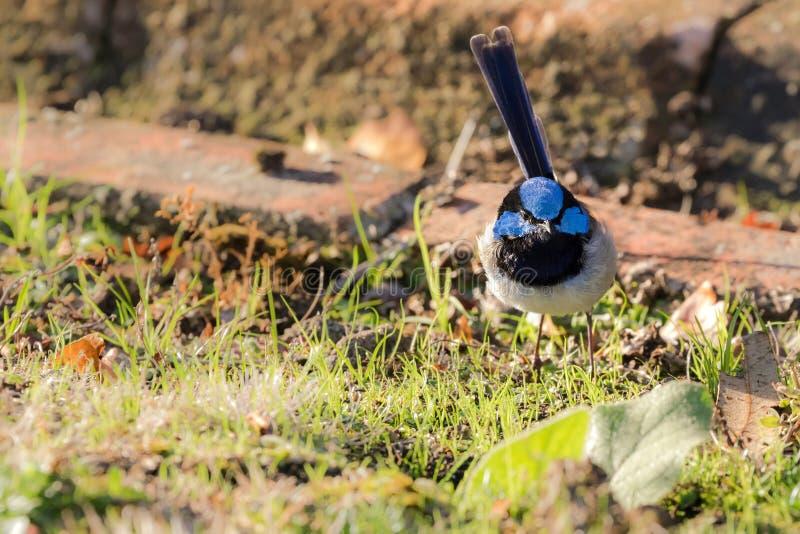 Petit roitelet féerique superbe mignon, oiseau masculin de roitelet bleu avec distinct photo stock