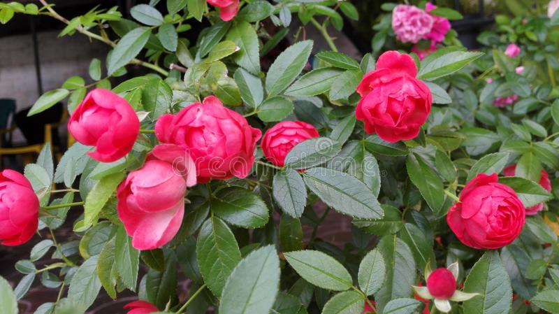 Petit Rosas arkivbild
