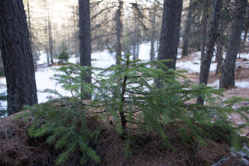Petit sapin sur une roche couverte par des aiguilles de spuce en hiver photo libre de droits