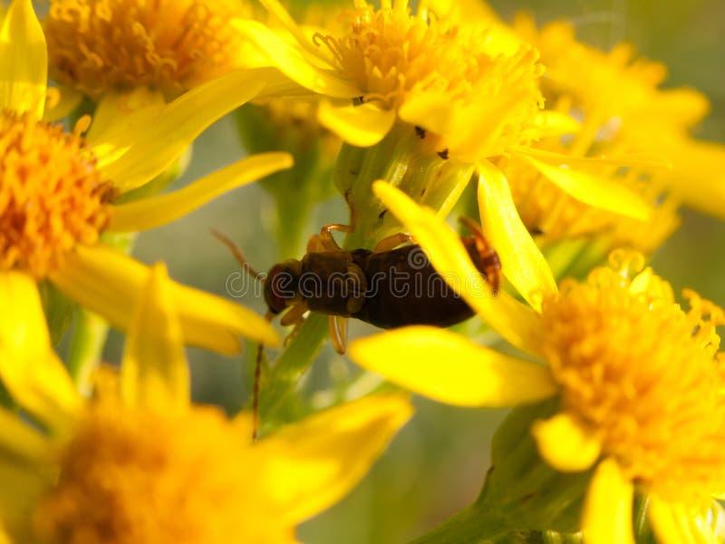 Petit petit scarabée sur la fin jaune d'extérieur de fleurs  images libres de droits
