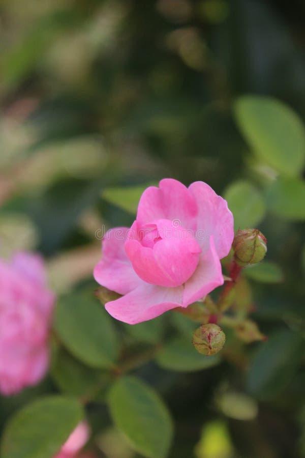 Petit sensible rose s'est levé photographie stock libre de droits