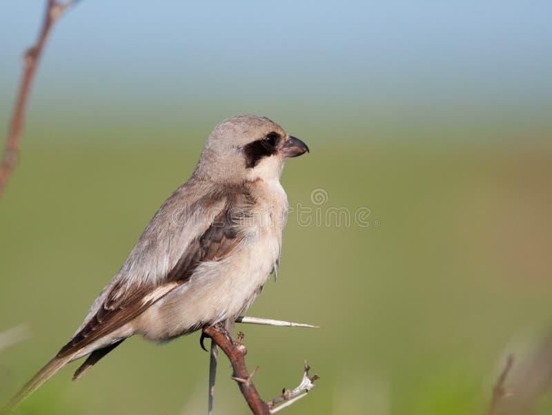 Petit Shrike gris sur l'arbre d'épine photos libres de droits