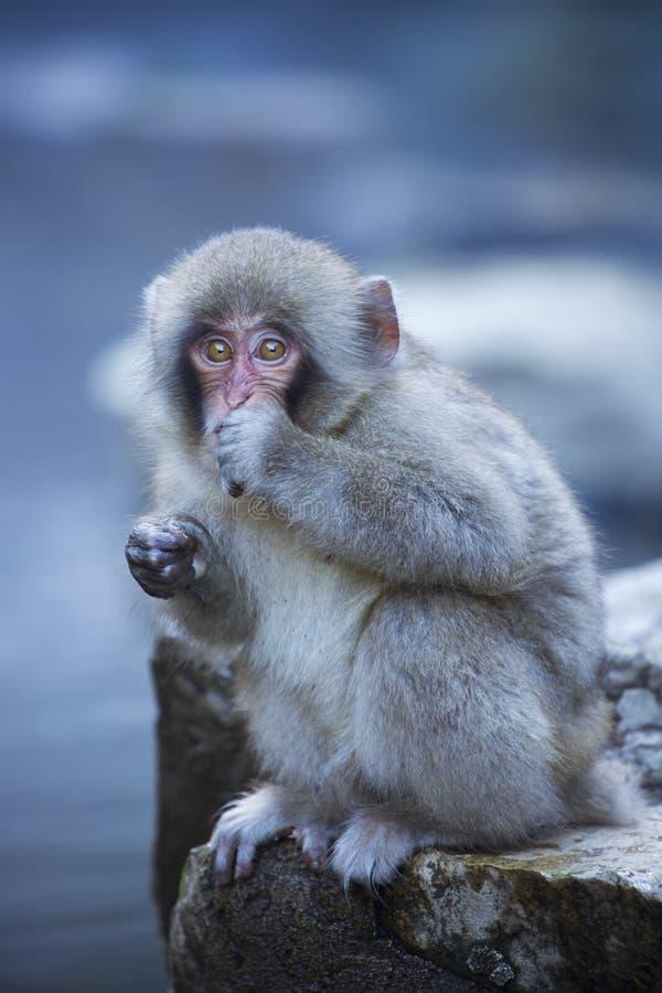 Petit singe japonais de neige à une source thermale photo stock