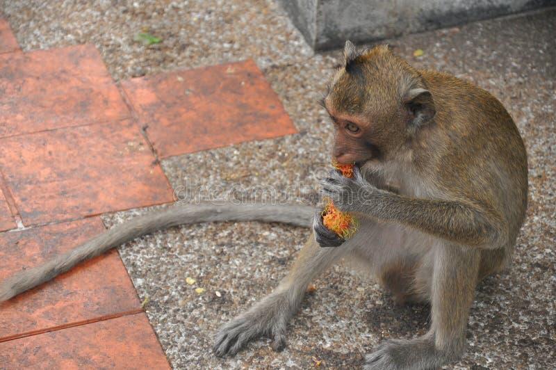 Download Petit Singe Mangeant Du Fruit Image stock - Image du animal, côte: 56490215