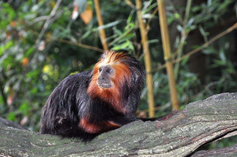 Petit singe semblant curieux photos libres de droits