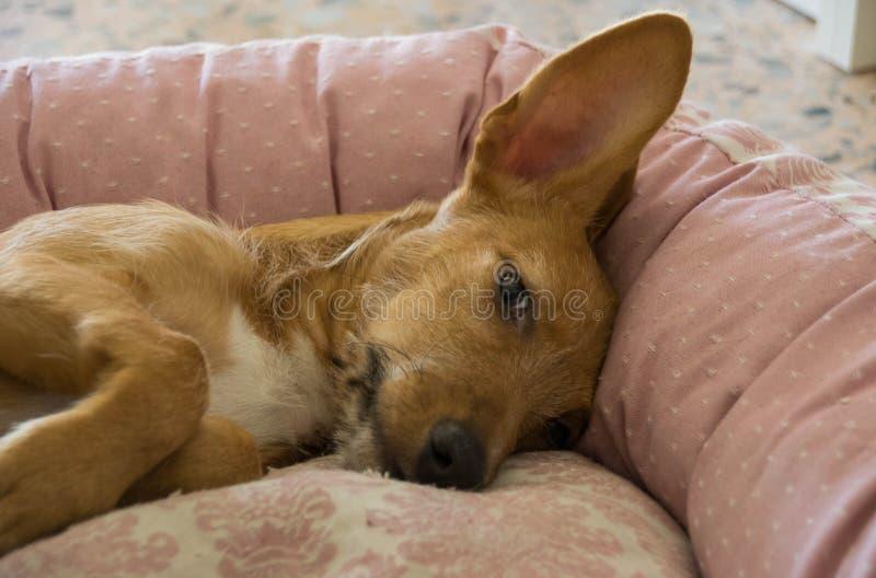 Petit somme du ` s de chien sur le sofa photographie stock libre de droits