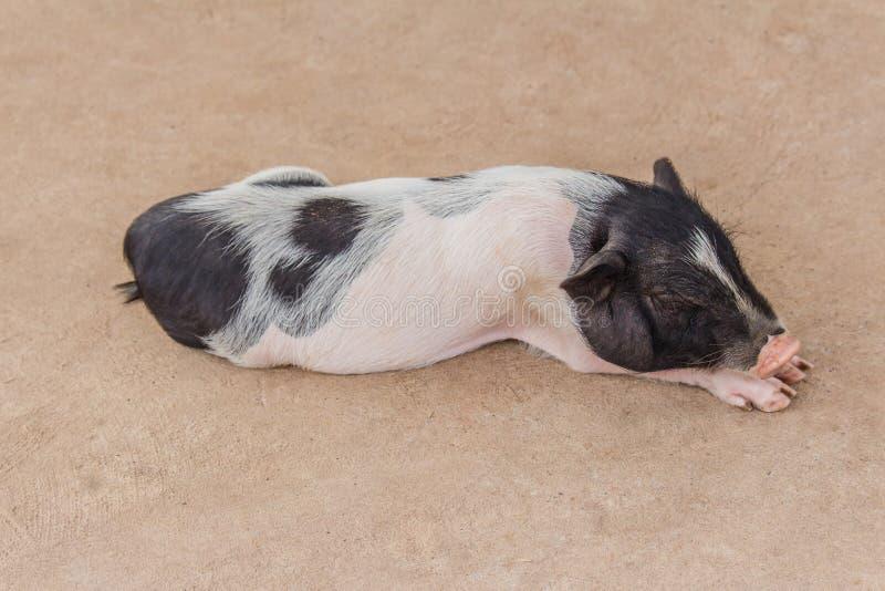 Petit sommeil mignon de porc photo stock