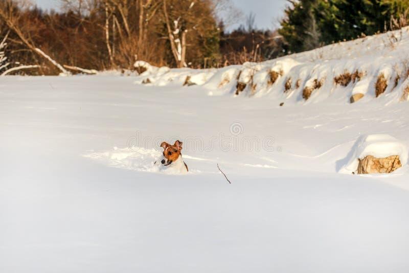 Petit terrier de Jack Russell jouant dans la neige profonde photographie stock