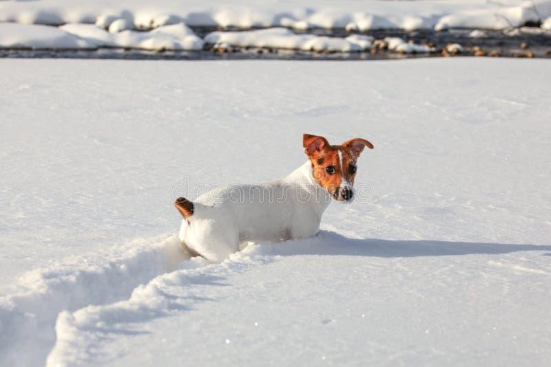Petit terrier de Jack Russell rampant dans la neige profonde, les cristaux de glace sur son nez et la bouche, rivière à l'arrière photo libre de droits