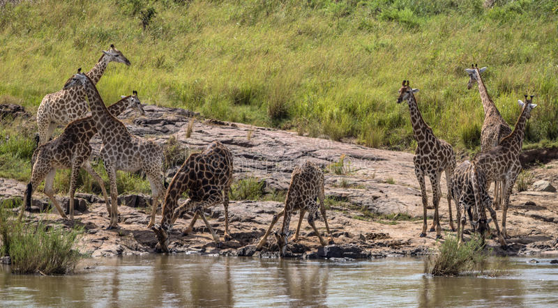 Petit troupeau d'eau potable de girafes en parc national de Kruger images libres de droits