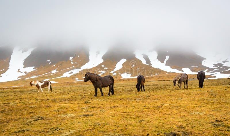 Petit troupeau de chevaux islandais frôlant dans un pré d'hiver photo stock