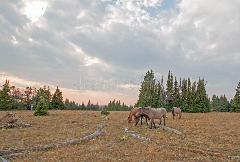 Petit troupeau de chevaux sauvages frôlant à côté des rondins de bois mort au coucher du soleil dans la chaîne de cheval sauvage  photo stock