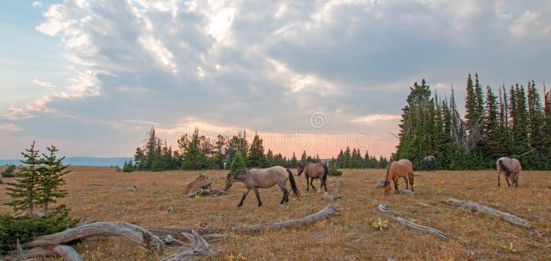 Petit troupeau de chevaux sauvages frôlant à côté des rondins de bois mort au coucher du soleil dans la chaîne de cheval sauvage  image stock