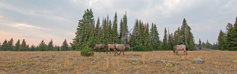 Petit troupeau de chevaux sauvages frôlant à côté des rondins de bois mort au coucher du soleil dans la chaîne de cheval sauvage  photographie stock libre de droits