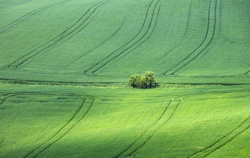 Petit verger d'arbres au centre du champ du blé vert photographie stock libre de droits