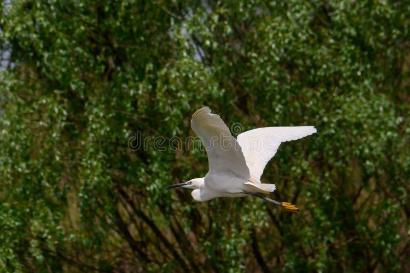 Petit vol de héron dans le delta de Danube, observation d'oiseau de faune de la Roumanie photos stock