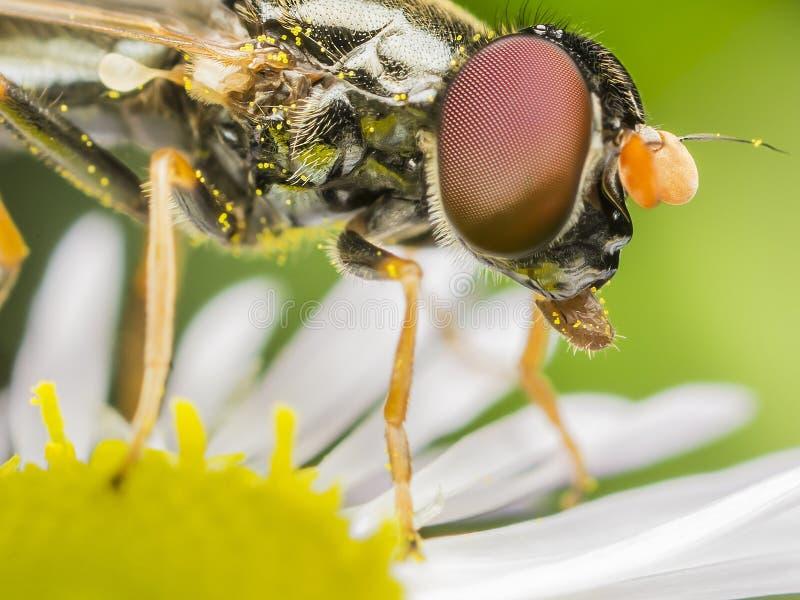 Petite abeille sur une marguerite photographie stock libre de droits