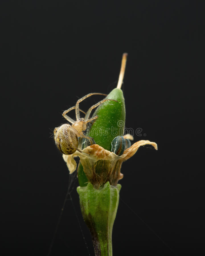 Petite araignée vivant dans un buisson de peper de piment d'isolement photo stock
