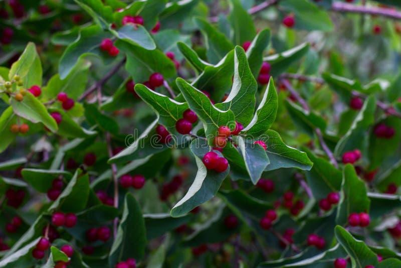 arbuste avec boule rouge trendy branche de baie rose with arbuste avec boule rouge fleurs et. Black Bedroom Furniture Sets. Home Design Ideas