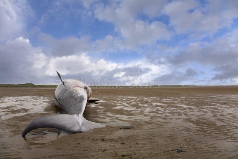 Petite baleine photographie stock libre de droits