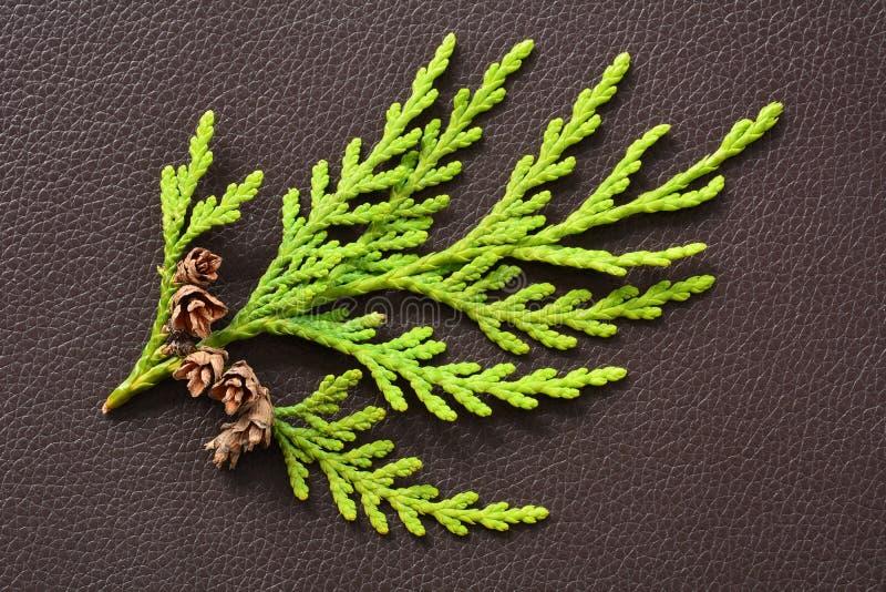 Petite branche de cèdre avec les pinecones minuscules photographie stock libre de droits