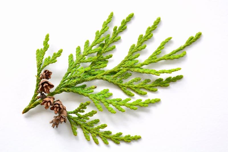 Petite branche de cèdre avec les pinecones minuscules image stock