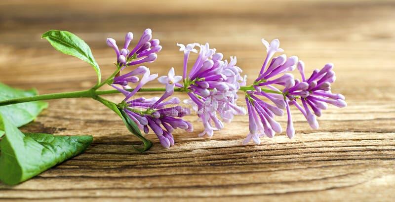 Petite branche lilas de l'arbre le soleil images libres de droits
