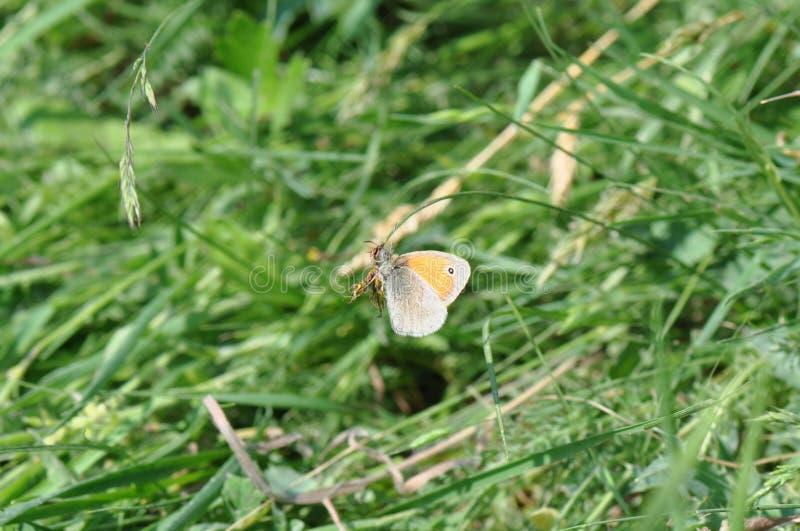 Petite bruyère de papillon photo libre de droits