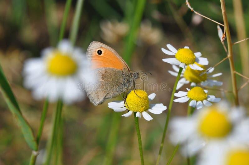 Petite bruyère de papillon image libre de droits