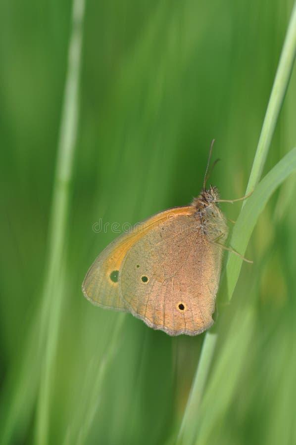 Petite bruyère de papillon images libres de droits