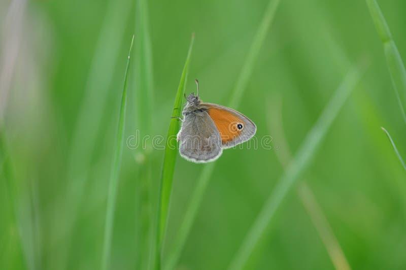 Petite bruyère de papillon image stock